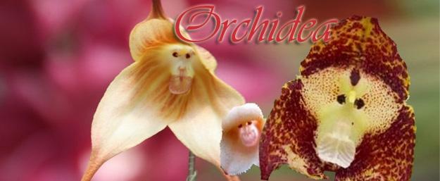 Netradičná orchidea: 20 semien kvetu s tvárou opice
