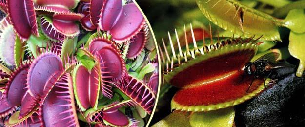 Mucholapka podivná - mäsožravá rastlinka